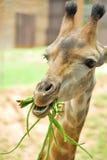 Giraffe eating beans stock photos