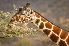 Giraffe eating branch of the tree , Sambu Stock Images