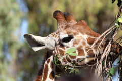 Giraffe eating branches Royalty Free Stock Photography