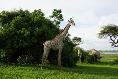 Giraffe eating from a bush Royalty Free Stock Image