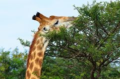 Giraffe eating a bush i africa. Giraffe eating an acarcia tree leaves in the african bush Royalty Free Stock Images