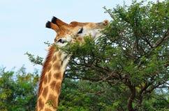 Giraffe eating a bush i africa. Giraffe eating an acarcia tree leaves in the african bush Royalty Free Stock Photo