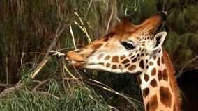 Giraffe eating bushes from a tree close-up stock video footage
