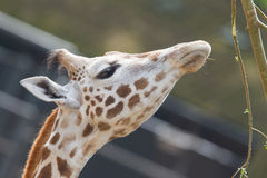 Giraffe eating. Close up of a adult giraffe eating Royalty Free Stock Photography