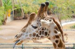 Giraffe eating. Closeup of a giraffe eating Royalty Free Stock Photography