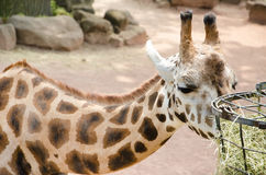 Giraffe eating dry grass from metal basket Stock Photos