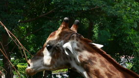 Giraffe eating food Stock Images