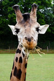 A giraffe eating. A fun giraffe eating, at the Cerza zoo (France Stock Photography