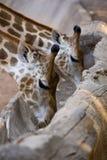 Giraffe eating grain food on gutter wood. Stock Photos