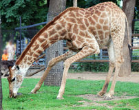 Giraffe eating grass Stock Image
