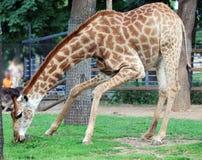 Giraffe eating grass Stock Image