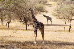 Giraffe eating grass in the African savanna Stock Image