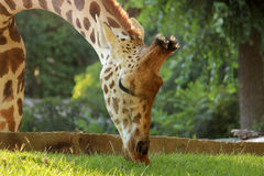 Giraffe eating grass Royalty Free Stock Photos