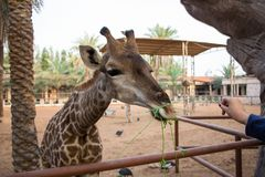 Giraffe is eating grass from human hands. Selective focus Royalty Free Stock Photos