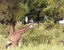 Giraffe eating Royalty Free Stock Photography