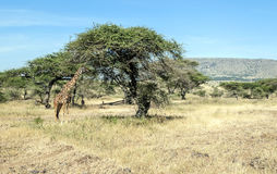 Giraffe eating Royalty Free Stock Images