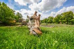 Giraffe eating green grass in the sun Stock Photos