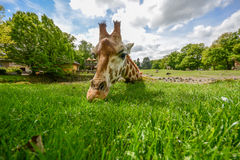 Giraffe eating green grass in the sun Royalty Free Stock Images