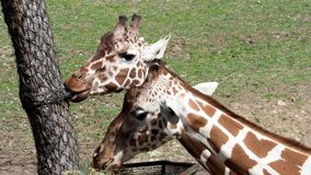 Giraffe eating hay from the basket. Giraffa camelopardalis reticulata stock video footage