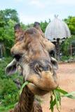 Giraffe eating Stock Images
