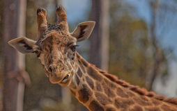 Giraffe Eating His Lunch at the San Diego Zoo. Giraffe munching on grain at the San Diego Zoo in Southern California Stock Image
