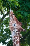 Giraffe eating. A leaf on a tree Stock Photos