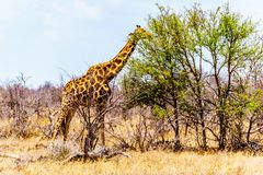 Giraffe eating the leafs of the few green trees In Kruger National Park. Giraffe eating the leafs of the few green trees in the drought stricken savanna area of Royalty Free Stock Images