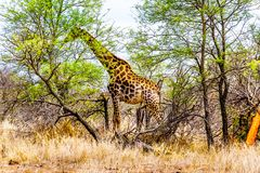 Giraffe eating the leafs of the few green trees In Kruger National Park. Giraffe eating the leafs of the few green trees in the drought stricken savanna area of Stock Photography
