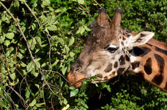 Giraffe eating leafs Royalty Free Stock Photos
