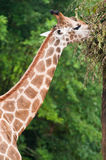 Giraffe eating leaves. In the zoo Royalty Free Stock Photos