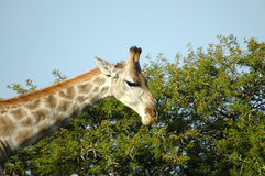 Giraffe eating leaves Royalty Free Stock Images