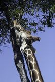 Giraffe Uses Its Tongue to Eat Leaves royalty free stock photo