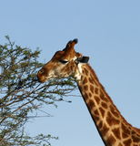 Giraffe eating leaves Royalty Free Stock Photo