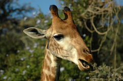Giraffe Eating Leaves  Stock Photography