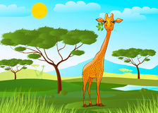 Giraffe eating leaves in Africa at sunset Royalty Free Stock Photo