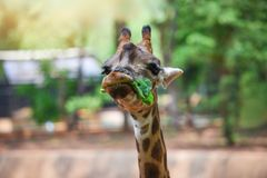 Giraffe eating leaves / Close up of a giraffe in front and funny on nature green tree. Background in the national park stock images