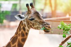 Free Giraffe Eating Leaves - Close Up Of A Giraffe Africa In The National Park Stock Photo - 154454410