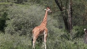Giraffe Eating Leaves stock video