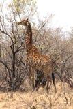 Giraffe eating leaves Royalty Free Stock Photos