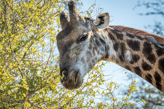 Giraffe eating leaves. Royalty Free Stock Photography
