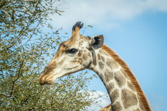 Giraffe eating leaves. Stock Photos