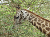 Giraffe eating leaves Stock Photos