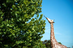 Giraffe eating leaves model Royalty Free Stock Photography