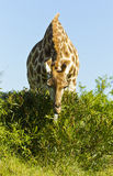 Giraffe eating leaves off a low bush Stock Photography