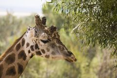 Giraffe eating leaves in the park Royalty Free Stock Images
