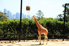 A giraffe eating leaves Royalty Free Stock Images