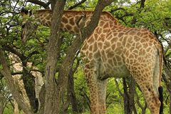 Giraffe eating leaves in Tala Game reseve, South Africa Royalty Free Stock Images