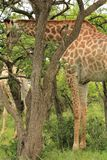 Giraffe eating leaves in Tala Game reseve, South Africa Royalty Free Stock Photography