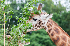 Giraffe Royalty Free Stock Photography