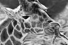 Giraffe eating leaves of the tree Royalty Free Stock Images